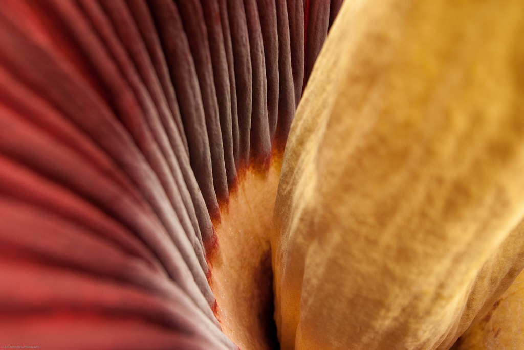 """Inside the Corpse Flower"" @ Erin Kohlenberg"