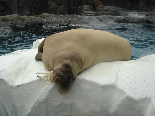 """Beautiful Male Walrus at Marine World Africa USA"" © Diana"