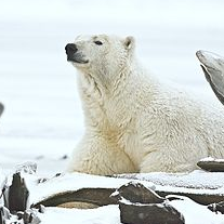 """Polar Bear"" by Alan D. Wilson; Creative Commons License"