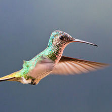 """Flying Golden-tailed Sapphire Hummingbird"" © Marcial4"