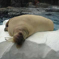 """Beautiful Male Walrus at Marine World Africa"" © Diana"