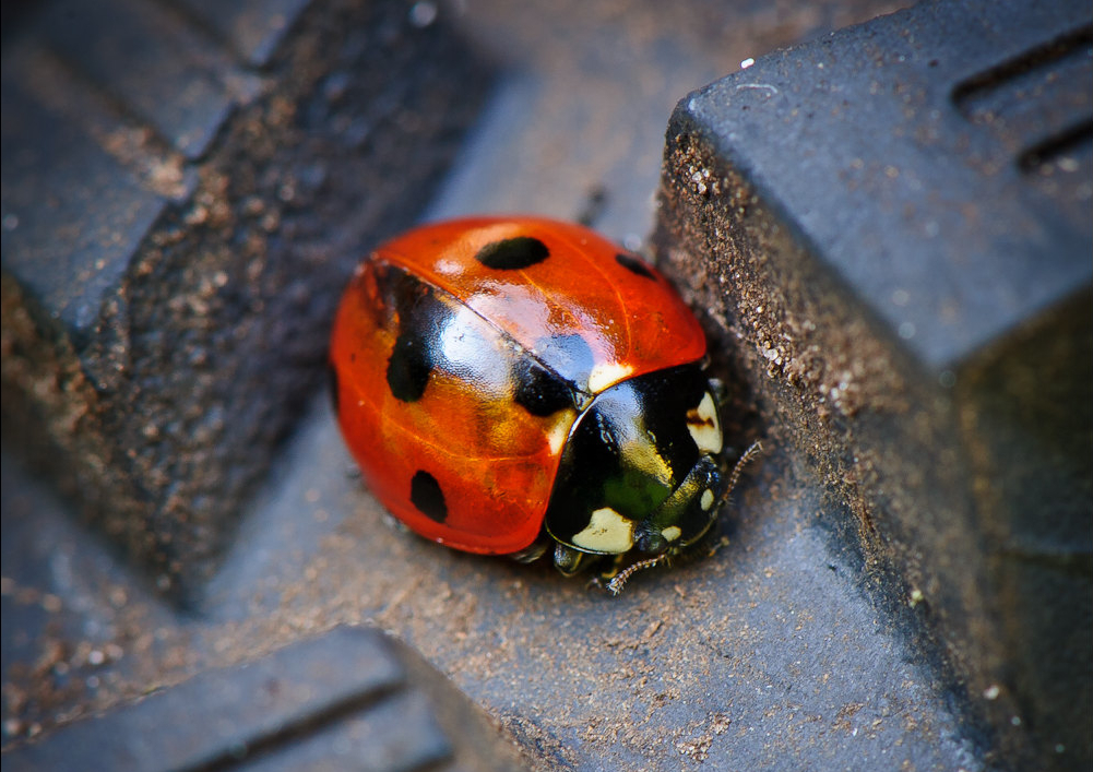 """Ladybug"" © Jos Dielis; Creative Commons license"