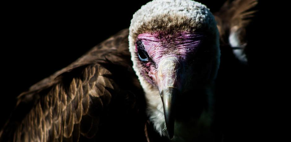 """Hooded Vulture"" © Andrew Tinmouth; Creative Commons license"