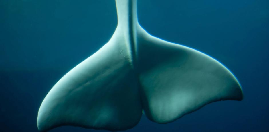 """Beluga Whale's Tail"" © Jason Pier; Creative Commons license"