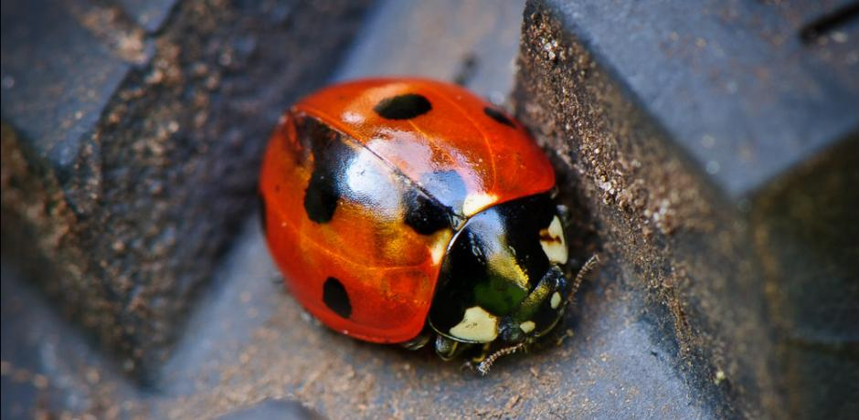 """Ladybug"" (cropped) © Jos Dielis; Creative Commons license"