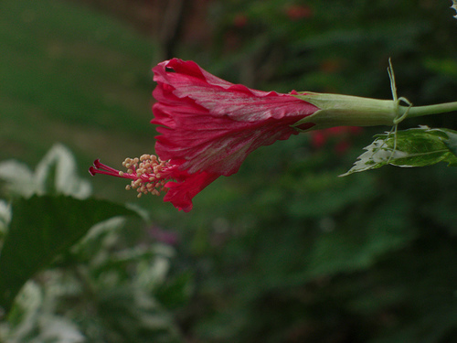 Budding Hibiscus by Swami