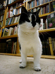Marblehead, MA bookstore cat