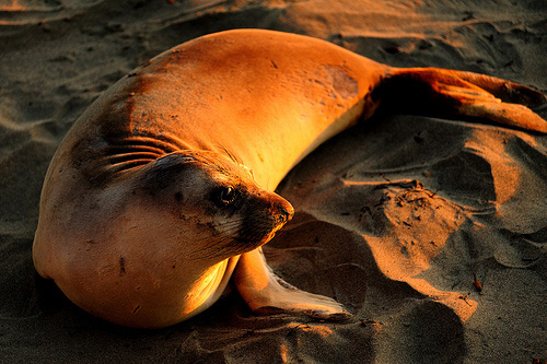 Elephant Seal Sunset by David Zimmerman